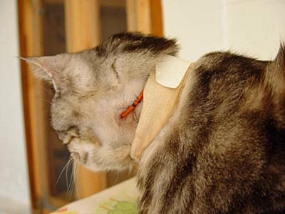 Esophageal Feeding Tubes In Cats By Dr Kathy Takacs Mission Ridge Animal Hospital