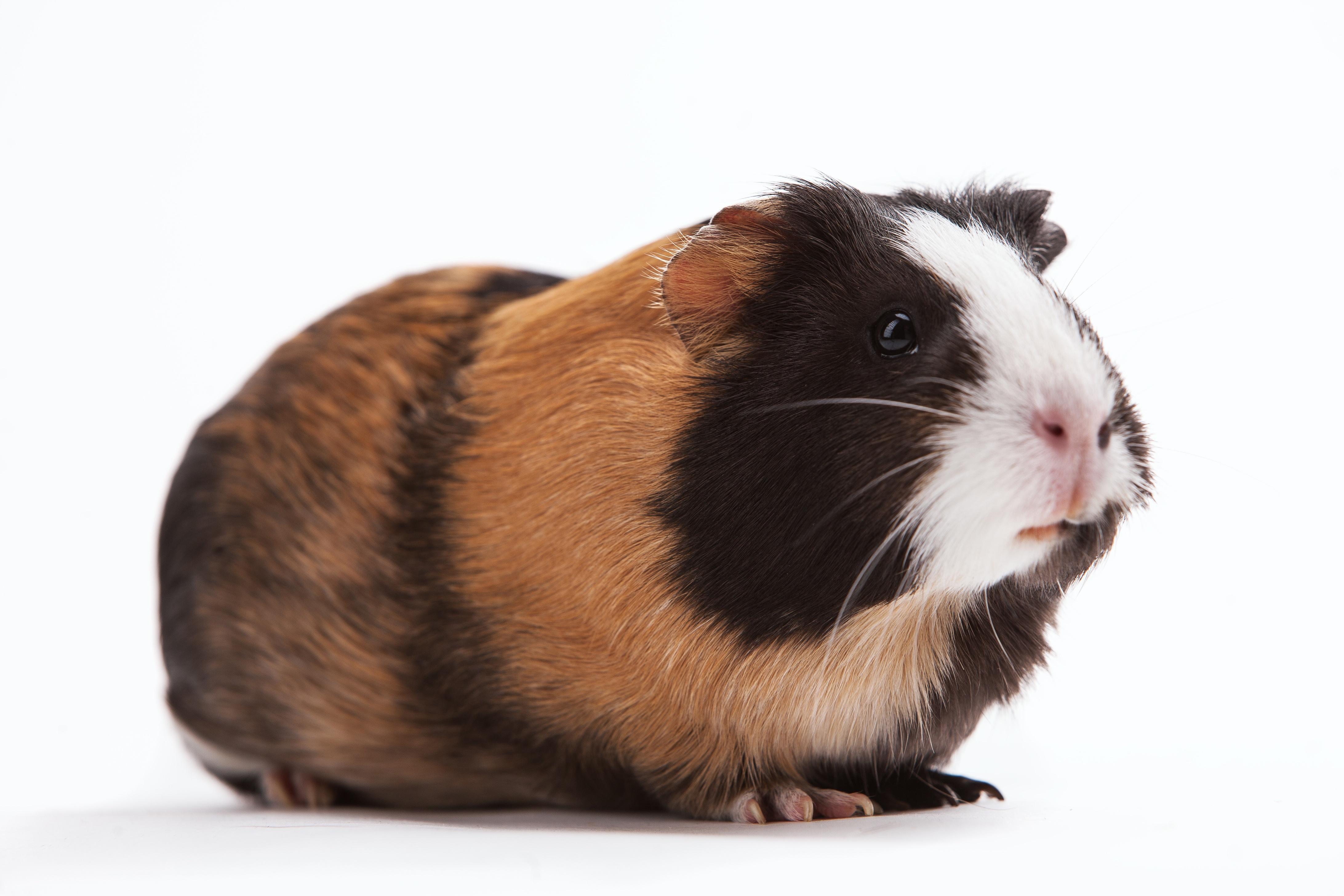 Why Guinea Pigs Make Good Pets Mission Ridge Animal Hospital
