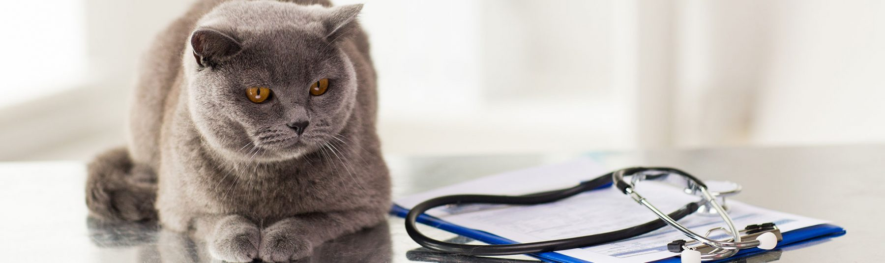Cat lying beside a stethoscope and clipboard