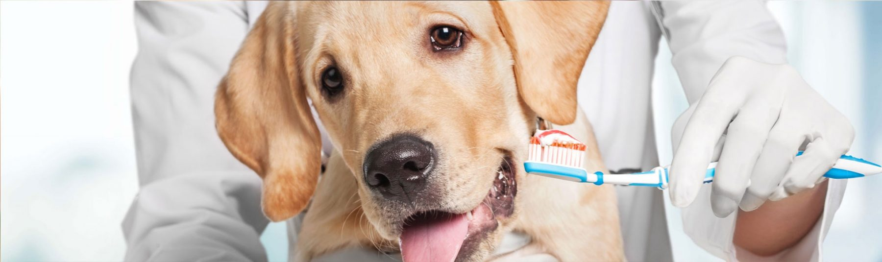 Veterinarian holding a toothbrush in front of a dog