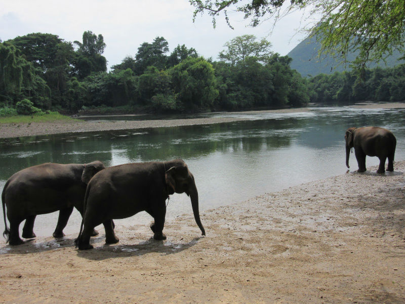 Elephants by a river, drinking water