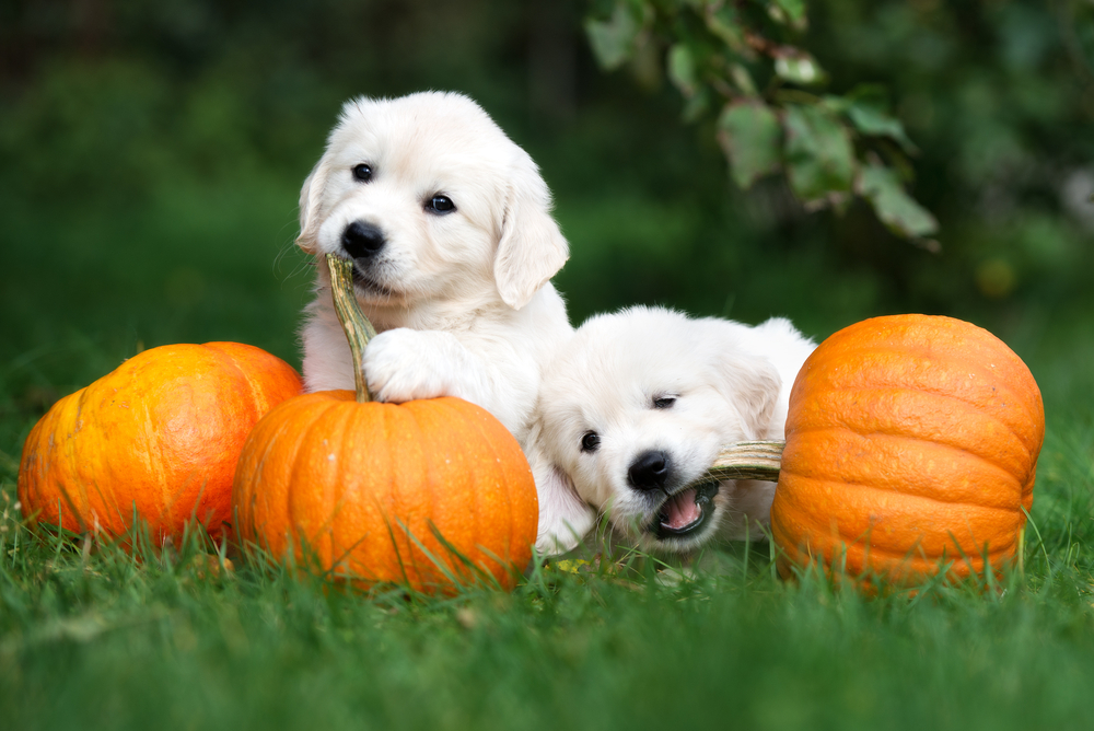 pumpkin puppies